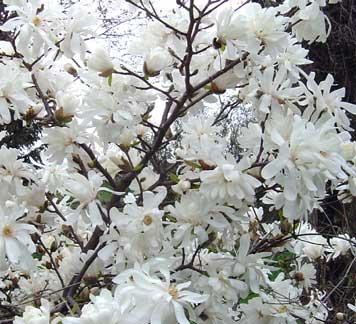 Spring blooming shrubs detail of magnolia stellata mightylinksfo