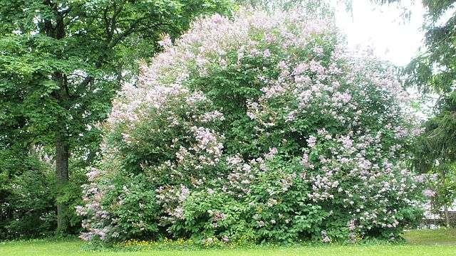 Matured lilac bush in the landscape