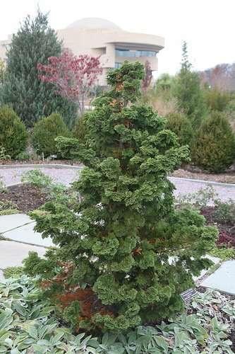 Hinoki False Cypress (Chamaecyparis obtusa)