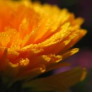 Annuals for Your Garden: Calendula Officinalis
