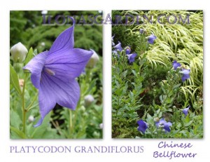 The balloon flower decorates the July garden